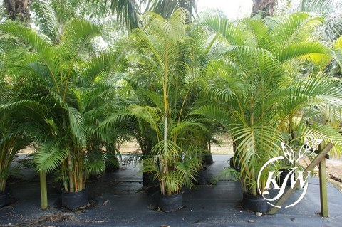 Dypsis Lutescens Yellow Palm
